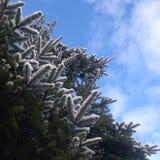 елевые ветви под снегом Стоковое фото RF