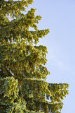 Елевые ветви с конусами против неба Стоковое Фото