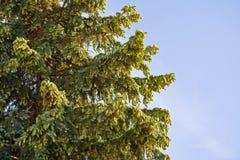 Елевые ветви с конусами против неба Стоковое фото RF