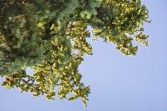 Елевые ветви с конусами против неба Стоковые Фото