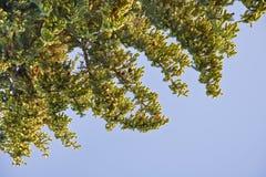 Елевые ветви с конусами против неба Стоковые Фотографии RF