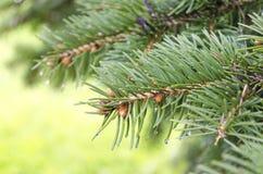 Елевые ветвь дерева и waterdrops Стоковое Фото
