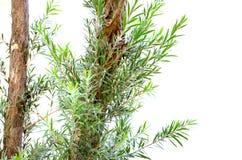 Елевые листья дерева Стоковые Фотографии RF