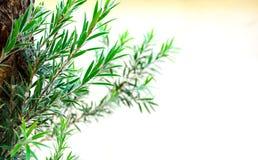 Елевые листья дерева Стоковое Фото