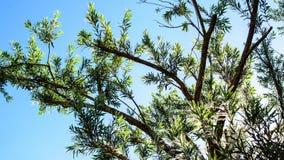 Елевые листья дерева Стоковая Фотография RF
