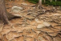 Елевые корни Стоковое Изображение RF