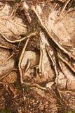 Елевые корни Стоковые Изображения
