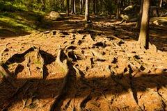 Елевые корни Стоковое фото RF