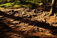 Елевые корни Стоковые Фотографии RF