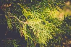 Елевые фильтрованные ветви дерева Стоковая Фотография