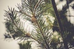 Елевые фильтрованные ветви дерева Стоковые Изображения RF