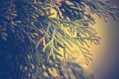Елевые фильтрованные ветви дерева Стоковые Фото
