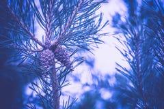 Елевые фильтрованные ветви дерева Стоковая Фотография RF