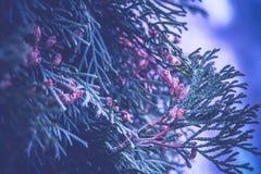 Елевые фильтрованные ветви дерева Стоковое Фото