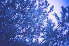 Елевые фильтрованные ветви дерева Стоковые Изображения