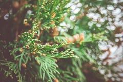 Елевые фильтрованные ветви дерева Стоковое Изображение