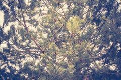 Елевые фильтрованные ветви дерева Стоковое Изображение RF