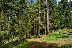 Елевый лес в Карпатах Стоковое Изображение RF