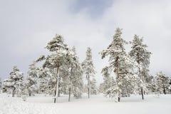 Елевый лес дерева покрытый снегом в ландшафте зимы Стоковые Изображения RF