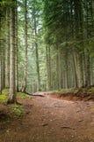 Елевый лес дерева Стоковая Фотография RF