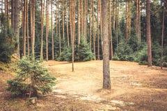 Елевый край леса при сосны и земля покрытые с иглами ели в винтажных цветах стоковое фото