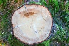 Елевый пень дерева Стоковые Фото