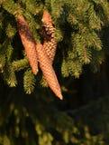 3 елевых конуса Стоковая Фотография