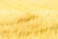 Единственный урожай Стоковые Фотографии RF