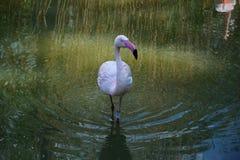 Единственный фламинго в воде Стоковые Изображения