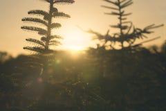 Ели в заходе солнца в декабре Стоковая Фотография