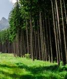 Ели в прикарпатских горах стоковые фотографии rf