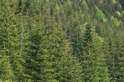 Ели, окружающая среда леса, предпосылка природы Стоковое фото RF