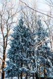 2 ели покрытой с снегом в зиме в древесинах Стоковое фото RF