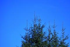 Ели против ясного голубого неба Стоковые Фото
