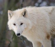 ледовитый белый волк Стоковая Фотография RF