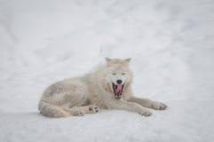 ледовитый волк снежка Стоковое Изображение