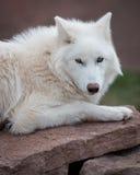 ледовитый волк Стоковые Изображения RF