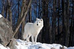 ледовитый волк Стоковое фото RF
