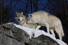 2 ледовитых волка на утесах Стоковое фото RF