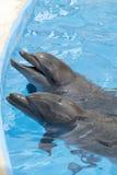 2 дельфина в бассейне Стоковое Изображение RF