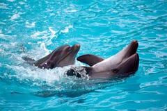 2 дельфина закрывают вверх admin Стоковые Фотографии RF