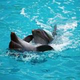 2 дельфина закрывают вверх admin Стоковые Изображения RF