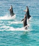 дельфины Бутылк-носа Стоковое Фото