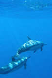 дельфины bottlenose 2 Стоковые Фотографии RF