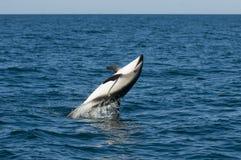 дельфин dusky Стоковая Фотография RF