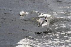дельфин dusky стоковые фотографии rf