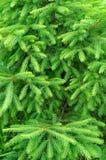 Ель ветвей зеленая Стоковое фото RF