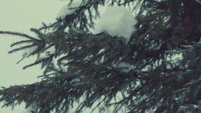Ель в снеге, снежности видеоматериал