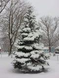 Ель Дугласа с снегом покрыла ветви Стоковая Фотография