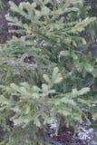 Ель леса сосны Стоковое фото RF
